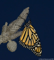 Monarch at night (v4vodka) Tags: monarch monarchbutterfly motyl motylek milkweed commontiger wanderer blackveinedbrown danausplexippus monarchfalter amerikanischemonarch monarcha 君主斑蝶 insect butterfly