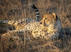Lounging Kitty Cat... (DTT67) Tags: cheetah cat africa southafrica lounging wildlife animal nationalgeographic nature mammal safari canon 1dxmkii 100400mm