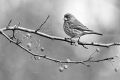 Perched, in the First Snow (dshoning) Tags: snow flurries hmbt finch berries winter november iowa perched limb tree