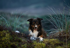 just Yatzy (Flemming Andersen) Tags: portrait pet nature dog bordercollie outdoor yatzy hund animal bedsted northdenmarkregion denmark dk