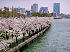 Osaka - Kema Sakuranomiya Park (Noti NaBox) Tags: sakura sakuranomiya park parc river rivière osaka hanami cherryblossom cherry blossom flower fleur city ville lumix lumixg80