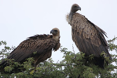 White-backed Vulture, Gyps africanus, at Kgalagadi Transfrontier Park, Northern Cape, South Africa.