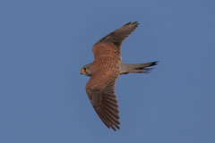 kestrel (2) (colin 1957) Tags: kestrel birdsofprey levington