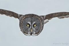 Great Grey Owl (Turk Images) Tags: borealforest greatgreyowl strixnebulosa alberta birds opal owls raptors strigidae