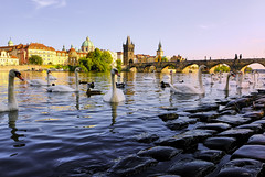 Swan Lake (abhishek.verma55) Tags: swan czechrepublic prague praha czech czechia ©abhishekverma vltava sky travelphotography travel city cityscape golden sunset sunsets sunsetpics beautiful evening colourful colour colorful colors flickr photography water waterfront wanderlust beauty town europe eurotrip river riverbank duck bridge charlesbridge tourism tourist vacation dreamvacation bird birds fujifilmxt20 exploration outdoor outdoors outside landscape landscapes scenic scene scenery view travelphotos urban urbanlandscape vivid vibrant vibrance peaceful peace vltavariver