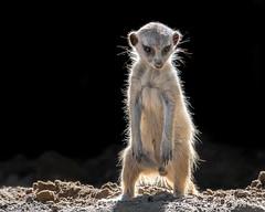 Mini Meerkat (helenehoffman) Tags: africa mob mongoosefamily pups suricatasuricatta sandiegozoosafaripark wildlife conservationstatusleastconcern meerkat babies mammal carnivore nature animal