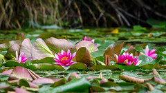 Roses are pink... (Stefan Marks) Tags: flower lily nature outdoor plant waterlily aucklandwaitakere northisland newzealand nzl