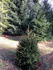 our 2018 Christmas tree (karma (Karen)) Tags: baltimore maryland home backyard christmastree spruce plantoneeachyear htmt iphone cmwd