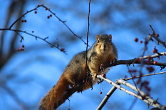 206/365/3858 (January 3, 2019) - Fox Squirrels in Ann Arbor at the University of Michigan - January 3rd, 2019 (cseeman) Tags: gobluesquirrels squirrels foxsquirrels easternfoxsquirrels michiganfoxsquirrels universityofmichiganfoxsquirrels annarbor michigan animal campus universityofmichigan umsquirrels01032019 winter eating peanuts acorns januaryumsquirrel snow snowy 2019project365coreys yearelevenproject365coreys project365 p365cs012019 356project2019