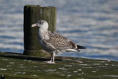 Sølvmåge, Herring gull, Silbermöwe (Larus argentatus)-3234 (Kenneth Gerlach) Tags: hirtshals denmark dk