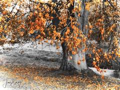 Colour Pop Tree (Jamarem) Tags: trentham gardens colourpop tree rust river leaf fall