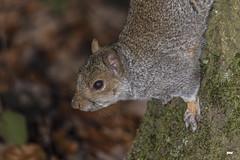 Should I stay or should I go. (davidrhall1234) Tags: greysquirrelsciuruscarolinensis squirrel adeldamnaturereserve leeds yorkshire animal nature nikon portrait outdoors mammal wildlife world woodland