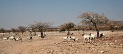 Damaraland, Namibia: goats and mopane trees (ronmcbride66) Tags: desert arid landscape goats mopanetrees dwelling farmstead namibia damaraland rural drought mountains coth coth5