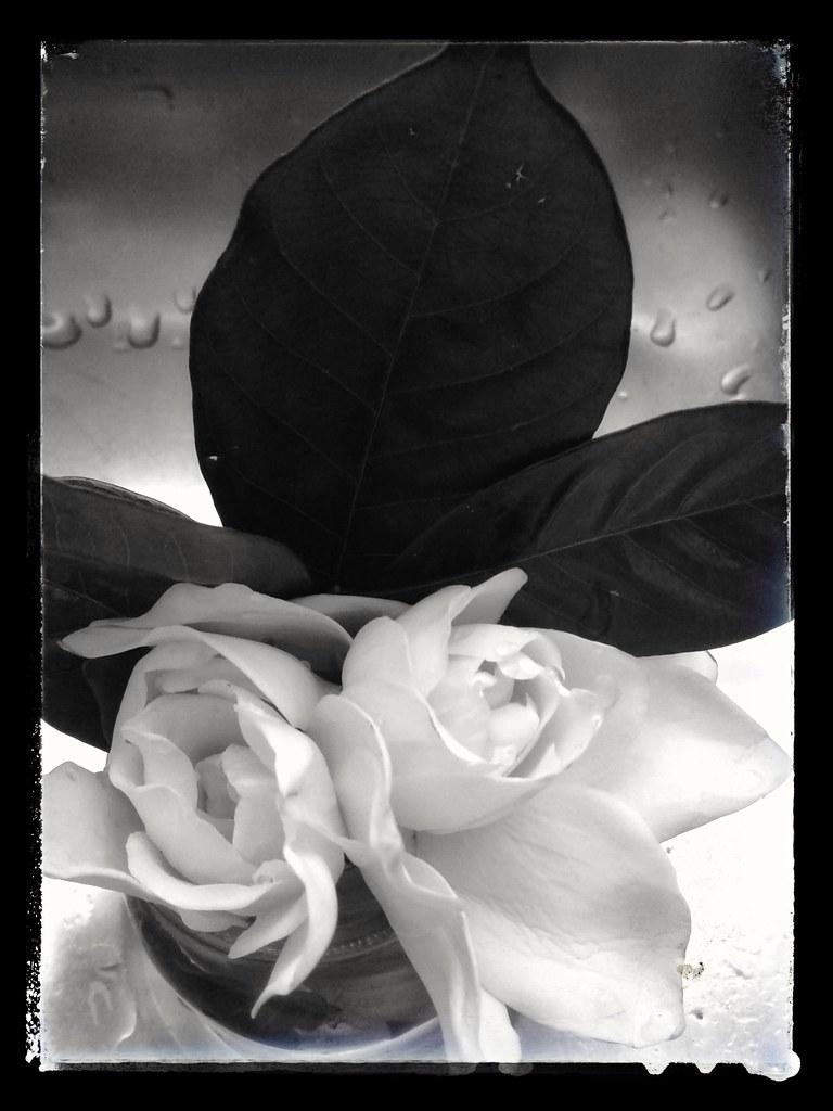Tiempo de jazmines (K.B.L. Luccia) Tags: jazmines flores primavera flowers  spring