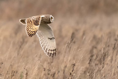 Short Eared Owl, Burwell Fen, Cambridgeshire, UK (2DT) (Nick Bowman1) Tags: fe100400lens ilce9 shortearedowl burwellfen uk cambridgeshire