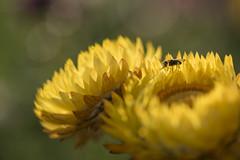 Une mouche au pays des merveilles * (Titole) Tags: fly yellow everlastingflower titole nicolefaton shallowdof