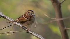 White-throated Sparrow (mausgabe) Tags: olympus em1 olympusm40150mmf28 olympusmc14 nyc centralpark theramble bird sparrow whitethroatedsparrow