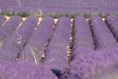 Fragant geometry (chriskatsie) Tags: plante plant lavender parfum provence fleur flower champ culture agriculture perfume mauve abeille bee miel honey france verdon valensole plateau beauté huile natureinfocusgroup lavande lavandin