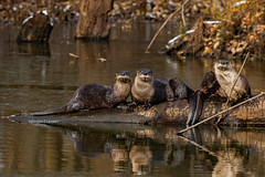 Black Hawk County, Iowa November 10,2018 (Doug Lambert) Tags: northamericanriverotter mstelids weasel aquatic water autumn pond family cute brown wildlife nature log blackhawkcounty waterloo iowa midwest canon7dmarkii canon100400ii river otter