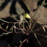 threadstem gilia, Linanthus filiformis thumbnail