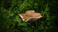 Mushroom (Max_Downie) Tags: helios autumn rain cold dog doggo labrador park leaves nature ussr old golden lens mushroom vintage natural a7ii sonya7ii sony helios44m classic field suffolk seasons cloudy