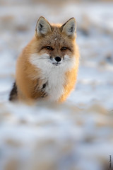 red fox (Mary Bassani) Tags: redfox fox zorro volpe mammal nieve snow retrato canonphotographer canon canada animalplanet animallovers ngc churchill wildlifephotographer naturewildlife