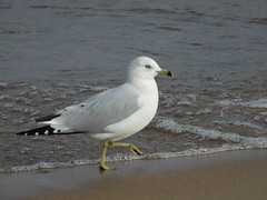 Ring-billed Gull (Smith Birding) Tags: larusdelawarensis gull ringbilledgull chicago loyolapark photography wildlife coolpixp1000 nikon birds