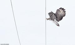 Lapinpöllö (mattisj) Tags: aves birds eläimet fåglar greatgreyowl lapinpöllö linnut pöllölinnut pöllöt raumonjärvi strigidae strigiformes strixnebulosa lappuggla wire