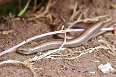 Slow worm, Anguis fragilis (Geckoo76) Tags: slowworm anguisfragilis lizard reptile