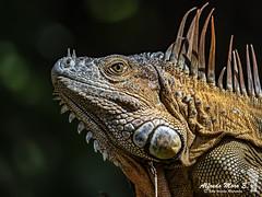 Iguana común o verde ( Iguana iguana), retrato (Esmerejon) Tags: caminodetortuguero costarrica iguana retratodeunaiguanacomúnoverdeiguanaiguana setratadeunmachoconelcolordesuépocadecelo realizadaenelentornodellodgeevergreen totuguero costaricael30denoviembrede2018conalgunascuriosidadeslaiguanacomúnoiguanaverdeiguanaiguanaesungranlagartoarbóreodeaméricacentralydesudaméricaseencuentradesdeméxicohastaelsudestedebrasilyelpantanaldelparaguay asícomotambiénenislasdelcaribey demaneraasilvestrada enfloridaestadosunidosmidenhasta2mdelongituddecabezahastalacolaypuedenllegarapesarmásde15kgpertenecealgrupomayorydemáscomplicadodiseñodelossauriosdelnuevomundo alquepertenecenlamayoríadelasespeciesseincluyeenlafamiliadelosiguánidoselmachosedistinguedelahembraporquetieneunacrestamásgrandeyprotuberante lacabezaescortaynotanalargadatienenunasglándulasaniveldesumembranasubtimpánicaqueenlamadurezsexualempiezanacrecerysenotanlosbultoslapapadasuelesermásgrandeenlosmachoslosporosfemorales protuberanciasquevanporabajodesuspiernas sonmásmarcadosqueenlahembraademás tienendosbultosenlazonadelacloacaquesonloshemipeneslosmachostambiéntiendenacambiarauncoloranaranjadoenépocadeapareamientoesto aunquetampocoesunacaracterísticaexclusivadelosmachos sucoloresmásbrillanteyfuertequeenlashembraslaépocadeapareamientoesdiferenteencadaregióndelmundoestáregidaportemperaturas humedadyradiaciónsolar quehacenqueentrenenlaépocadecelofuentewikipedia reptiles dissmorfismosexual coloresdecelos naturaleza lagartos