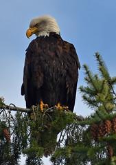 Keeping watch (Snixy_85) Tags: eagle baldeagle haliaeetusleucocephalus