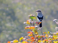 Northern Shrike (Shelley Penner) Tags: birds vancouverisland songbrids passerines shrike northern autumn leaves grey blackwingsandtail blackmask