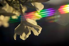 Light refraction filter. (yusuf.ronco) Tags: canonrebel canot2i canon50mmf18ef canon50mmf18 50mm niftyfifty lightrefraction rainbow flowers macrophotography macroflowers macro bokeh bokehbliss neworleans nola bigeasy blossom bloom blüte
