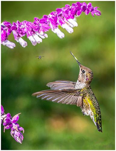 Hummingbird & Magenta Flowers by Don Cochrane -Award Class B  Prints - November 2018