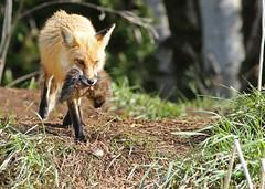 Momma fox...#8 (Guy Lichter Photography - 4.4M views Thank you) Tags: canon 5d3 canada manitoba wildlife animal animals mammal mammals fox redfox female