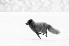 Mono running arctic fox (glidergoth) Tags: red mono arcticfox vulpeslagopus iceland winter snow wildlife