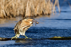 Great Bittern on a Windy Day (ildikólaskay) Tags: bird birdphotography wildlife bittern fish water