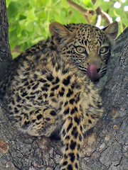 Young Leopard in Between Bites (BaliDave2) Tags: botswana wildlife leopard africa 2018