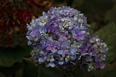 Still Blue (brucetopher) Tags: fall autumn wet rain weather flora floral leaf leaves blue hydrangea flower bloom late latebloomer fade muted purple