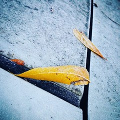 Leaves and Frost (Robert_Brown [bracketed]) Tags: robertbrown instagram square s8 samsung cellphone freezing frozen ice fall2018 portland oregon vermonthills fall autumn dead leaf leaves early morning format cold frost chilly blue