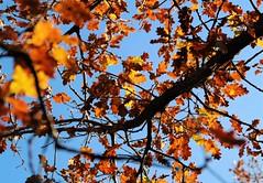 Sous un arbre (Willie-Crée) Tags: automne hiver jaune rouge brun branche tree arbre bleu blue soleil froid chaleur couleur cold
