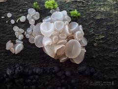 Fungi in the ancient Sussex woods (Nanooki ʕ•́ᴥ•̀ʔっ) Tags: handheld sussex ©suelambertlrpscpagb sussextrustfornature fungi mushrooms closeup woods forest