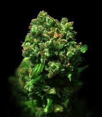 Cheese_54ee3bfc9d543 (Watcher1999) Tags: psychadelic cheese autoflowering blue big buddha marijuana cannabis medical seeds growing strain buds best dank bud plant weed smoking weeds ganja legalize it kush