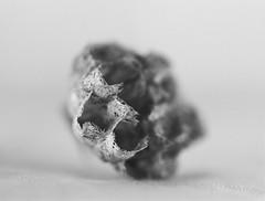 wasp nest Minolta X700 50mm Macro lens (shakmati) Tags: minolta bw monochrome film x700 macro micro black white negro shiro blanc blanco nero rokkor 50mm noir wasp nest honeycomb