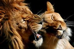 Kitties (Nephentes Phinena ☮) Tags: nikond300s zooinderwingst löwe lion