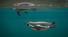 Abgetaucht (KaAuenwasser83) Tags: humboldtpinguine pinguine wasser zookarlsruhe zoo karlsruhe tiere vögel unterwasser glas glasscheibe