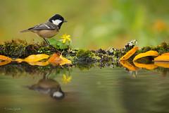 GARRAPINOS (Carlos Cifuentes) Tags: carbonerogarrapinos ferreiriñonegro periparusater coaltit bird birds wildlife wildlifenature natural carloscifuentes