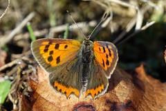 Le Bronzé ou le Cuivré commun Lycaena phlaeas L. (Ezzo33) Tags: cuivrécommun france gironde nouvelleaquitaine bordeaux ezzo33 nammour ezzat sony rx10m3 parc jardin papillon papillons butterfly butterflies specanimal bronzé lycaenaphlaeasl
