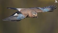 Eurasian Jay In Flight (Mick Erwin) Tags: flying bird flight flyby wings nikon afs 600mm f4e fl ed vr lens d850 mick erwin stoke trent staffordshire wildlife nature jays eurasianjay jaybird eurasian jay garrulus glandarius corvid