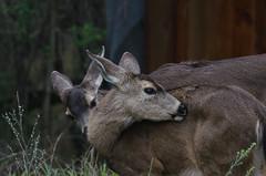 Afternoon Cleaning (wynner3) Tags: nikon nikond7000 nikkor200500mmf56 california muledeer deer bayarea wildlife blacktaileddeer